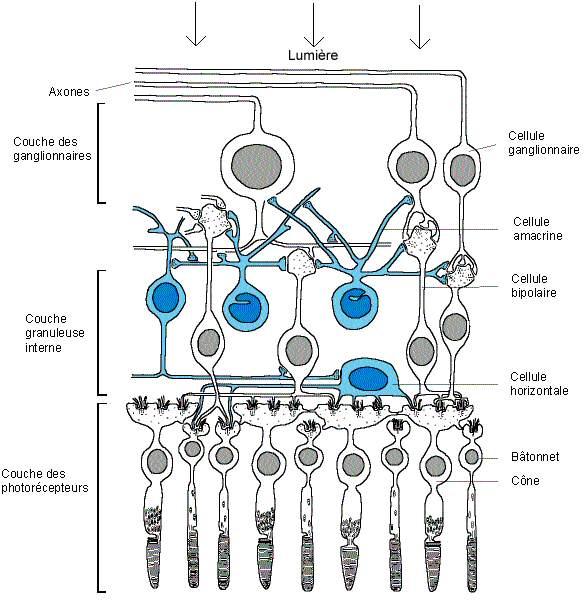 orientation de la rétine